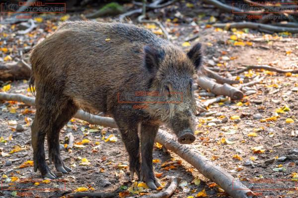 Wildschwein 1